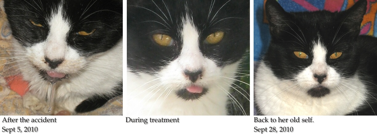 Pikica cat - swollen tongue, drooling, painful sore chewing food, swallowing, moving mouth, tongue sticks out, pain dry blood on nose, injuries hit by motorbike